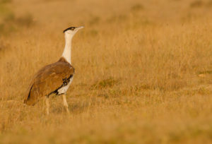 Great Indian Bustard © Prajwalkm